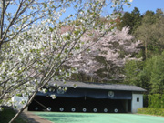 弓道場の桜